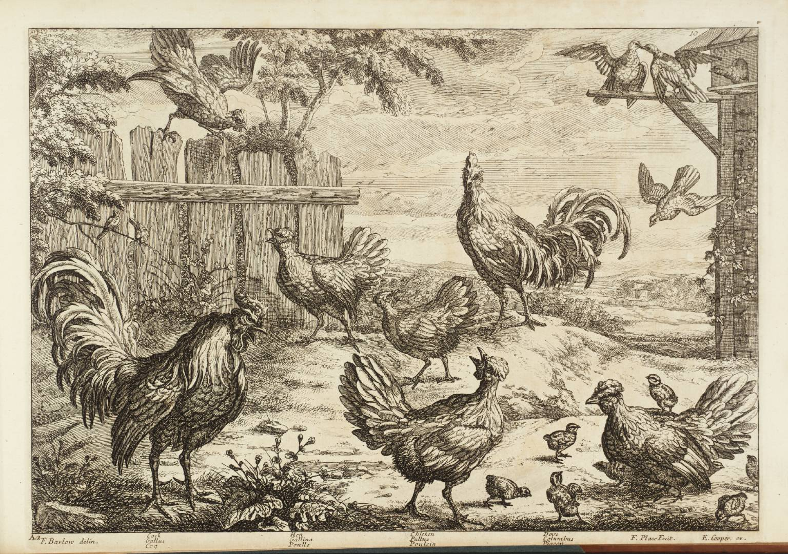 Pollito, Chicken; Gallina, Hen